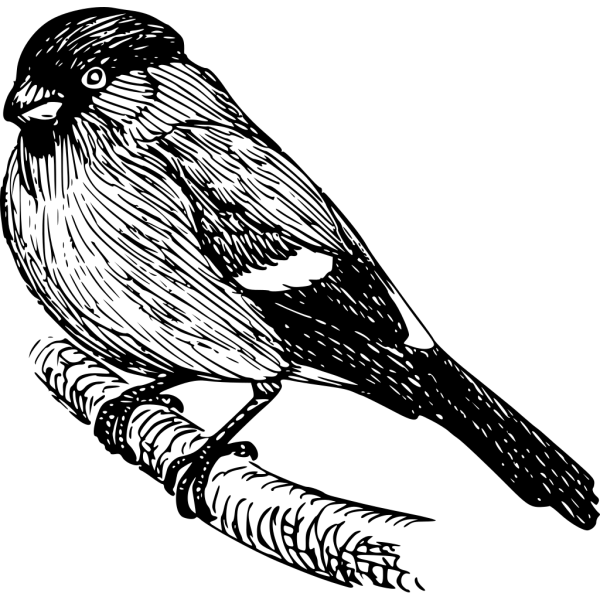 Bullfinch Drawing PNG Clip art