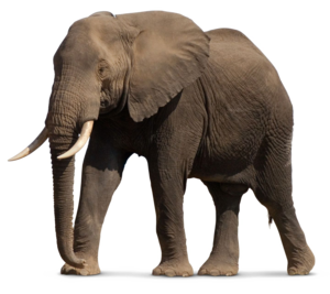 African Elephant PNG File PNG Clip art