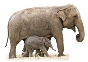 African Elephant PNG Free Download PNG Clip art