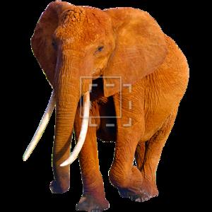 African Elephant PNG HD PNG Clip art