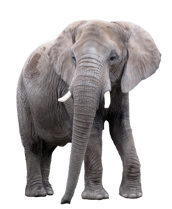 African Elephant PNG Image PNG Clip art