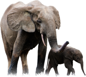 African Elephant PNG Pic PNG Clip art