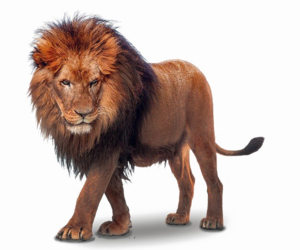 African Lion PNG File PNG Clip art