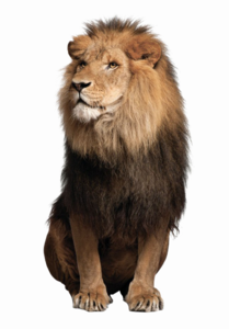 African Lion PNG Pic PNG Clip art