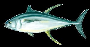 Ahi Tuna PNG Clipart PNG Clip art