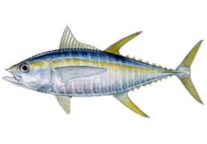 Ahi Tuna PNG Image PNG Clip art