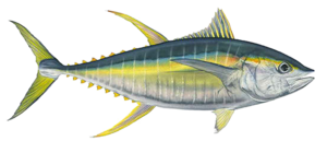 Ahi Tuna Transparent Background Clip art