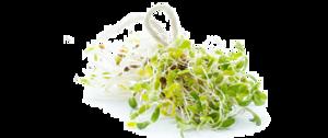 Alfalfa PNG Free Download PNG Clip art