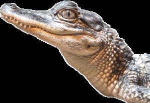 Alligator PNG Transparent Image PNG Clip art