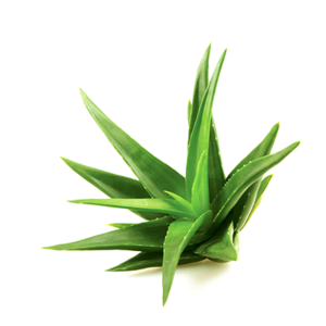 Aloe PNG Image PNG Clip art