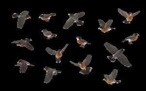 American Robin PNG HD PNG Clip art