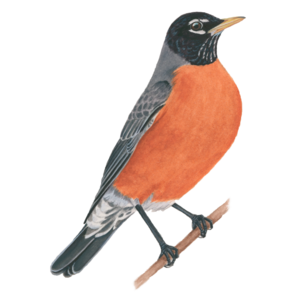 American Robin PNG Image PNG Clip art