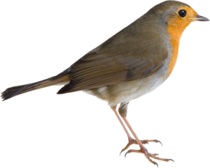 American Robin PNG Picture PNG Clip art