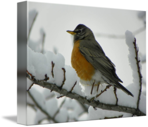 American Robin PNG Transparent Image PNG icon