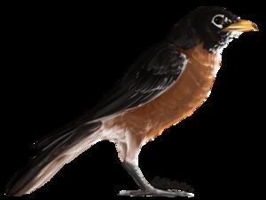 American Robin PNG Transparent PNG Clip art
