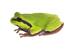 Amphibian PNG Clipart PNG Clip art