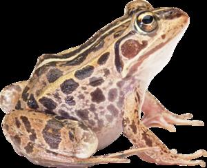 Amphibian PNG HD PNG Clip art
