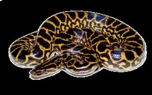 Anaconda PNG HD PNG Clip art