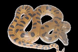 Anaconda PNG Transparent Image PNG Clip art