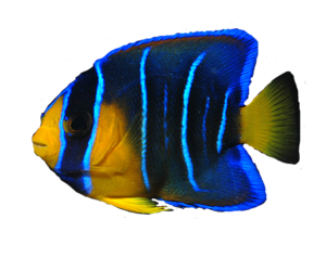 Angelfish Background PNG PNG Clip art