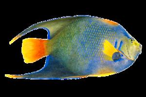 Angelfish PNG Image PNG Clip art