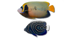 Angelfish PNG Photo PNG Clip art