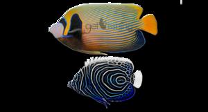 Angelfish PNG Photo PNG Clip art