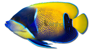 Angelfish PNG Pic PNG Clip art