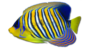 Angelfish PNG Transparent HD Photo PNG Clip art