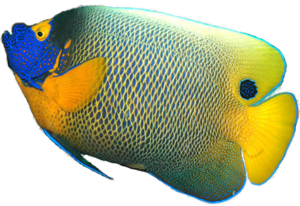 Angelfish Transparent Background PNG Clip art