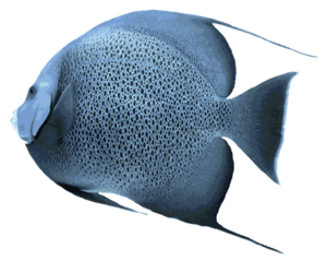 Angelfish Transparent PNG PNG Clip art