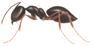 Ant PNG Clipart PNG Clip art