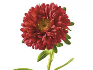 Aster PNG Clipart PNG Clip art