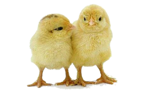 Baby Chicken PNG Photos PNG Clip art