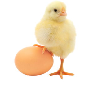 Baby Chicken PNG Transparent Image PNG Clip art