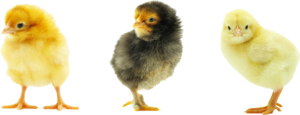 Baby Chicken Transparent Background PNG Clip art