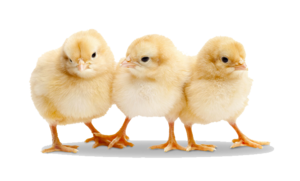 Baby Chicken Transparent PNG PNG Clip art
