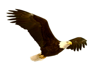Bald Eagle PNG File PNG Clip art