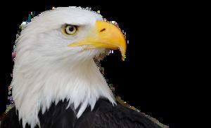 Bald Eagle PNG Free Download PNG Clip art