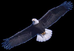 Bald Eagle PNG Image PNG Clip art