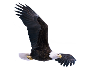 Bald Eagle PNG Photo PNG Clip art