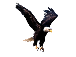 Bald Eagle PNG Photos PNG Clip art