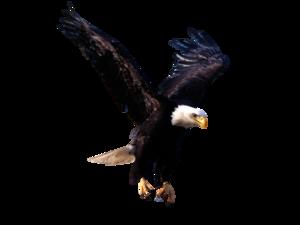 Bald Eagle PNG Photos PNG Clip art