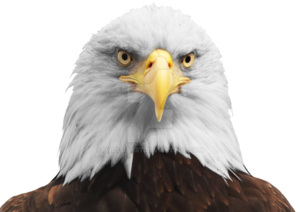 Bald Eagle PNG Transparent HD Photo PNG Clip art