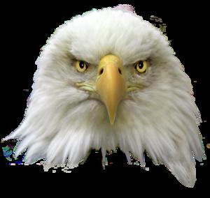 Bald Eagle PNG Transparent Image PNG Clip art