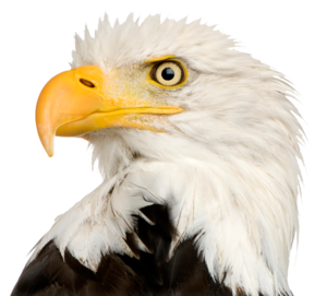 Bald Eagle PNG Transparent PNG Clip art