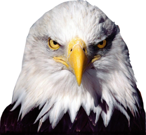 Bald Eagle Transparent Background PNG Clip art