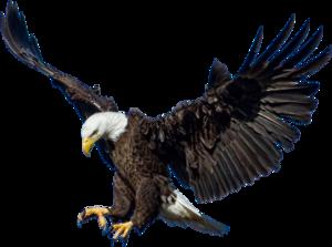 Bald Eagle Transparent Images PNG PNG Clip art