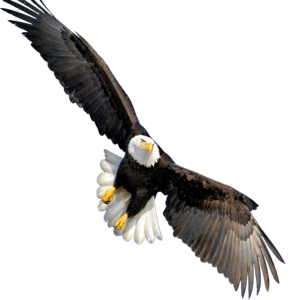 Bald Eagle Transparent PNG PNG Clip art
