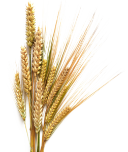 Barley Transparent Background PNG icon